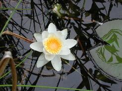 grzybień biały, lilia wodna to znakomity lek nasercowy oraz na